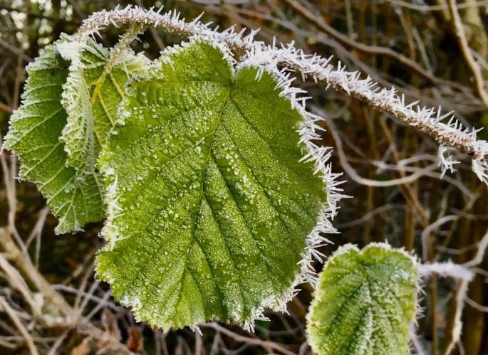 Icy leafs & stem