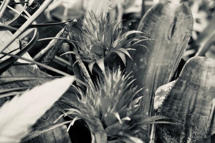 Bromelia in silvertone by Jez Braithwaite