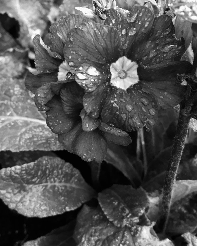 Primrose in mono by Jez Braithwaite