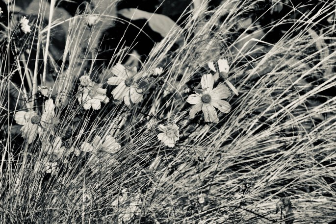 Daisies in the grass in noir
