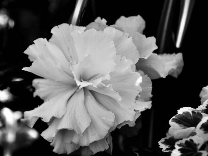 Begonia in noir