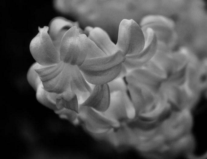 Hyacinth in noir