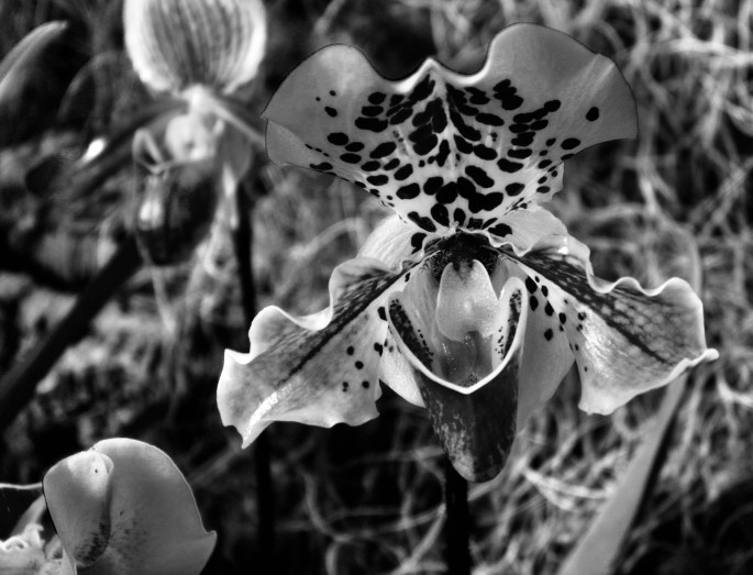 Orchid in noir