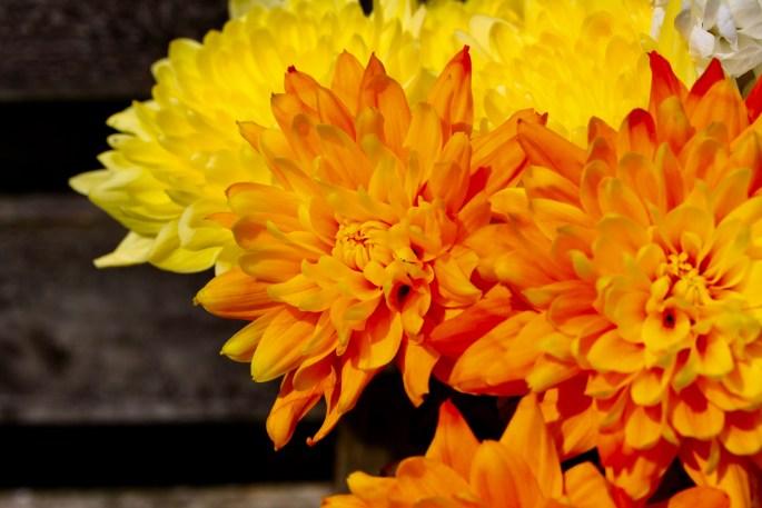 Vibrant chrysanths