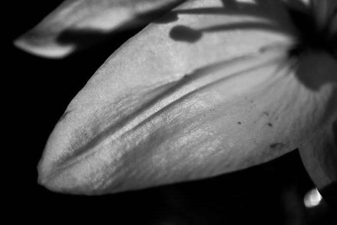 Lily petal