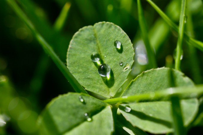 Raindrops on a clover