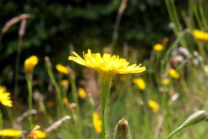 Underside of a dandelion
