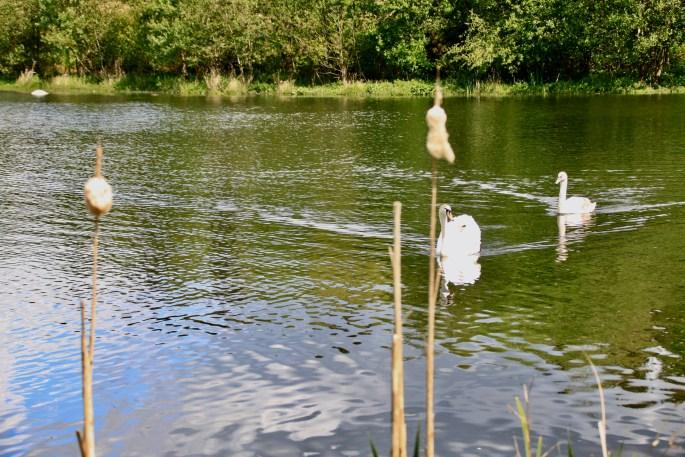 Swans on Broadwood Loch