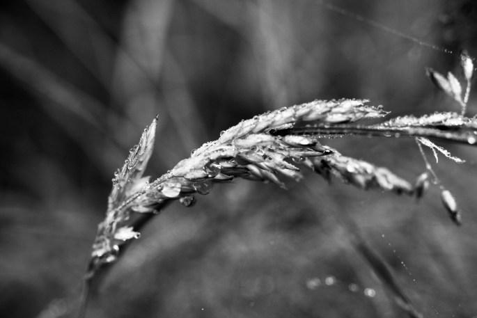 Wheat grass bent under the weight of rain