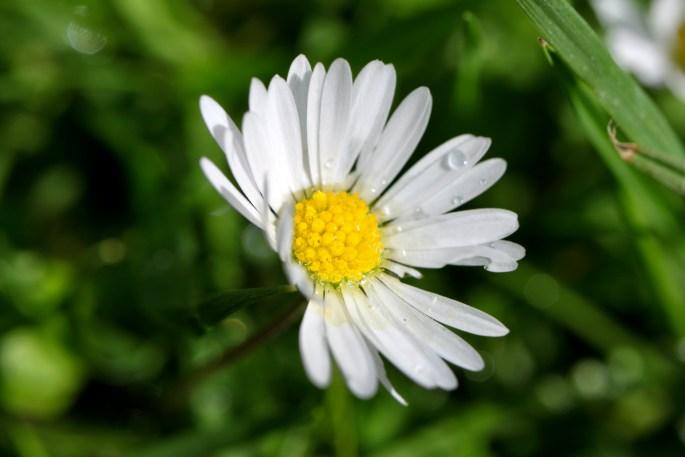 Daisy & waterdroplets