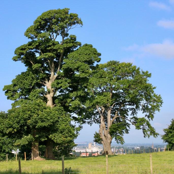 Trees at Clackmannan Tower