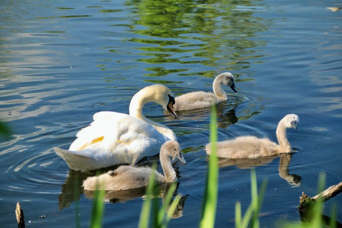 Swan & signets