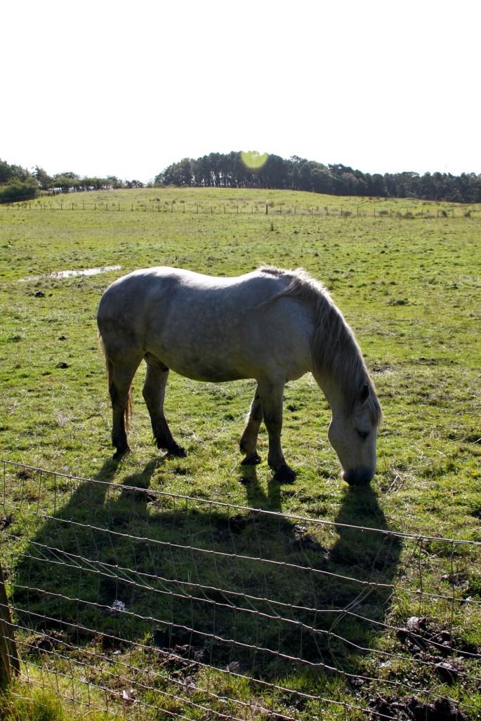 Horse & shadow