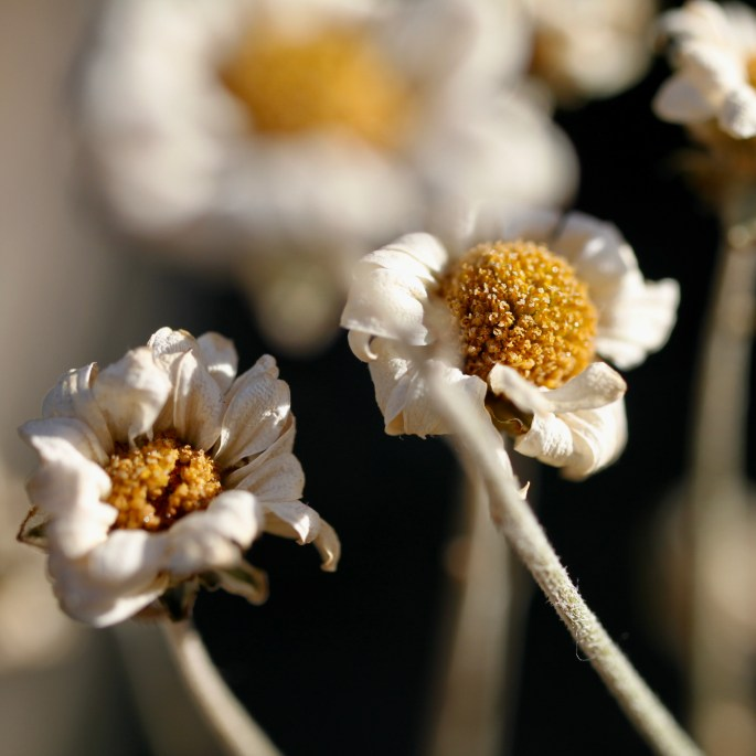 Dried chrysanths