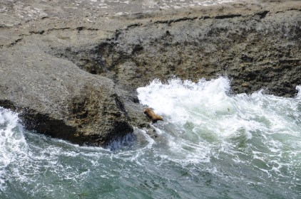 Sea Lion diving in or getting out (?)
