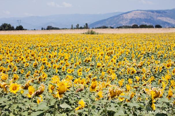 14 July 2013 - Sunflower fields