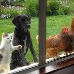 un chat, un chien et des poules regardent par la fenêtre