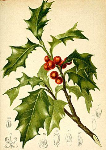 633px-Ilex_aquifolium_Atlas_Alpenflora