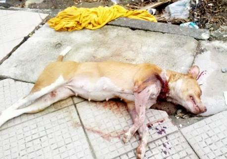 FEROZ – Cão PitBull e abatido após atavar pessoas na rua