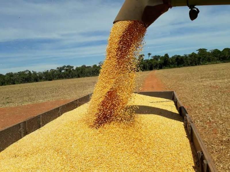 Apesar das perdas pontuais, produtores terão safra de milho histórica este ano em cidades do Cone Sul