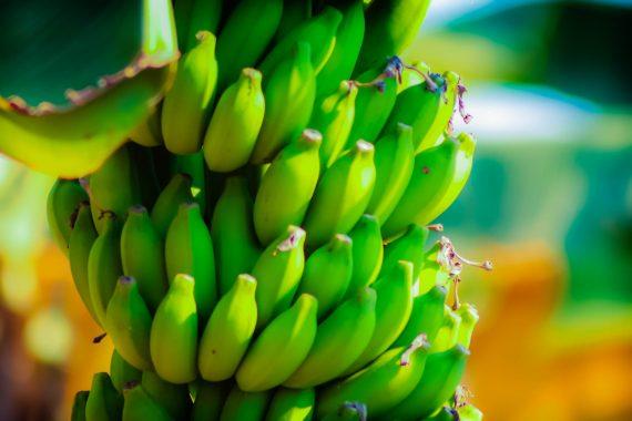 1º Festival de Banana começa nesta sexta-feira, em Porto Velho