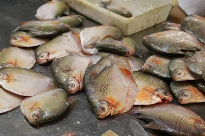 Começa hoje o período de defeso de oito espécies de peixes amazônicos