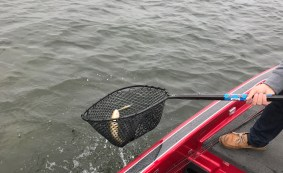 A common species of lakes in Michigan, the Northern Pike, flops and flips into the anglers net.
