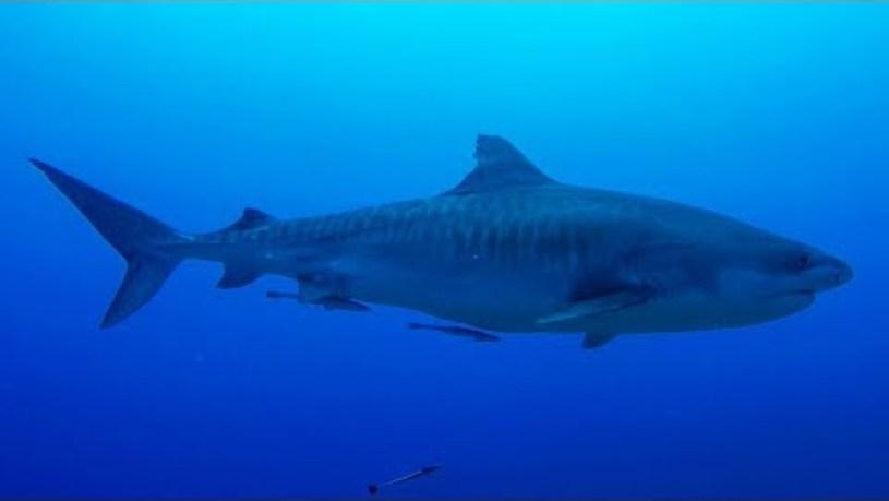Does Tahiti Have Sharks