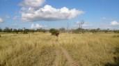 Pushing cattle up a laneway.