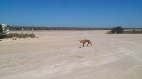 A dingo in the Nullabor, South Australia.