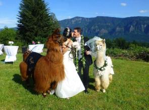 Monday-llama-wedding
