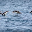 Gentoo Penguins Porpoising