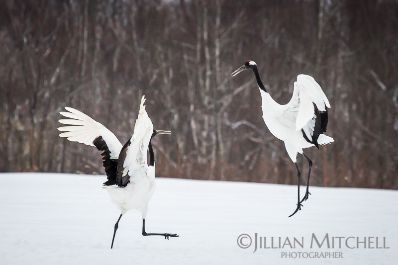 Endangered Red Crowned Cranes dancing in the snow.
