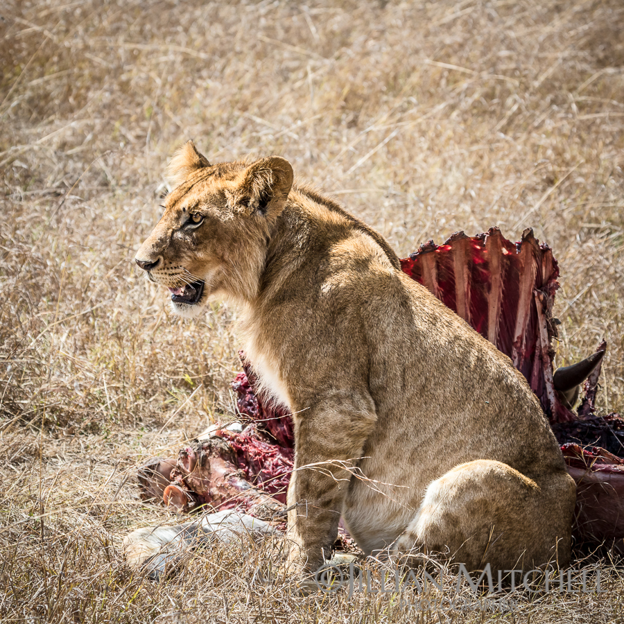 After the Feast - Lion in the Masai Mara, Kenya.