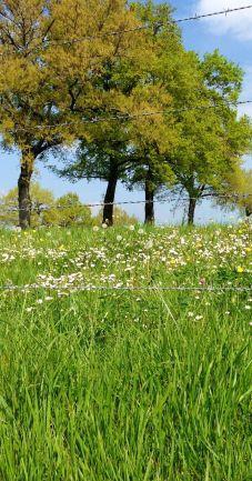 Daisy's in the field