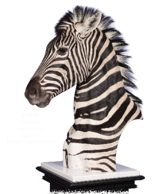 Zebra, G-1970P, Mount by Tom Weickum