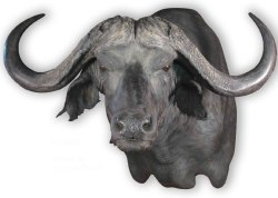 Cape Buffalo, G-CB1501, Mount by Jerry Huffier, Wall Mount