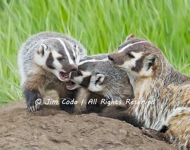 Two badger cubs play-fight.