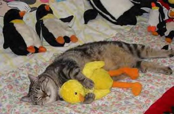 Cat enjoys duck