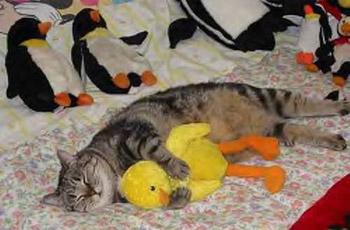 Cat enjoys duck