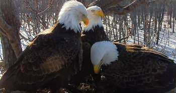 LIVE WEBCAM:  Rare Trio Of America's Birds Raising Eaglets Together