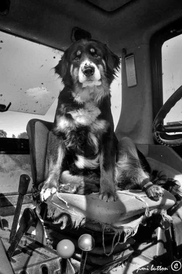 tractor dog
