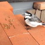 ベランダでハクセキレイの給餌シーン 2014 12 31
