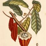 L'histoire du cacao
