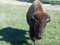 3-bison