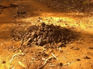 Horse poop, stallions marking their territory?