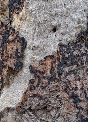 After fire bark reveals fur interior