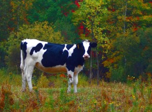 035-vermont-cow