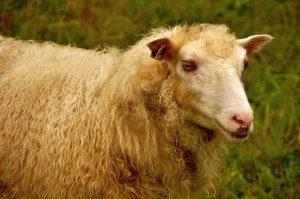 048-vermont-sheep