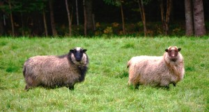 050-two-vermont-sheep